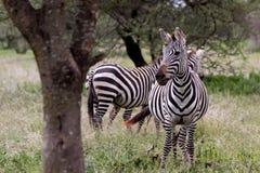 Twee Zebras in Tanzania Stock Foto's