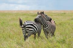 Twee Zebras, Tanzania, Afrika Royalty-vrije Stock Afbeelding
