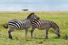 Twee Zebras, Tanzania, Afrika Royalty-vrije Stock Foto