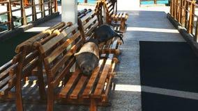 Twee zeeleeuwen die op een bank bij de jachthaven in puerto ayora rusten stock footage