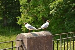 Twee zeemeeuwen Stock Afbeelding