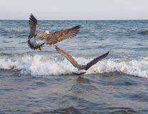 Twee zeemeeuwen die boven overzeese golven vliegen Stock Foto's