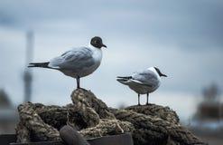 Twee zeemeeuwen die op de kabel van de meerpaal zitten Royalty-vrije Stock Fotografie