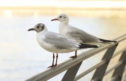 Twee zeemeeuwen die op een metaal zitten perken een grote stad op een zonnige middag in royalty-vrije stock fotografie