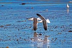 Twee zeemeeuwen die in vorming vliegen royalty-vrije stock afbeelding