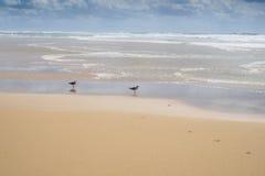 Twee zeemeeuwen die zich in het ondiepe water bevinden Royalty-vrije Stock Foto