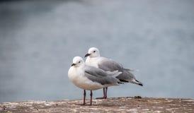 Twee zeemeeuwen door het water royalty-vrije stock fotografie