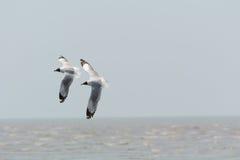 Twee zeemeeuwen het vliegen Royalty-vrije Stock Foto's