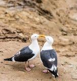 Twee zeemeeuwen in liefde stock foto's