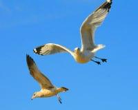 Twee zeemeeuwen tijdens de vlucht Royalty-vrije Stock Afbeelding