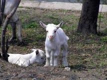 Twee zeer aardige goatlings royalty-vrije stock afbeeldingen