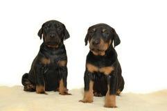 Twee zoete puppy royalty-vrije stock afbeeldingen