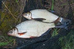 Twee zoetwatervissen witte brasem of zilveren vissen bij de zwarte visserij royalty-vrije stock afbeeldingen
