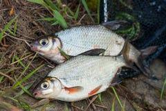 Twee zoetwatervissen witte brasem of zilveren vissen op zwart visnet stock afbeelding