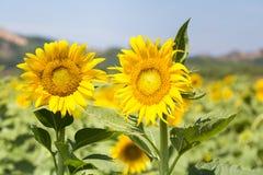Twee zonnebloembloemen in volledige bloei Royalty-vrije Stock Afbeeldingen