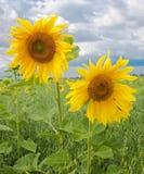Twee zonnebloemen Stock Afbeelding