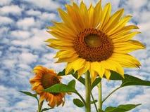 Twee zonnebloemen royalty-vrije stock foto