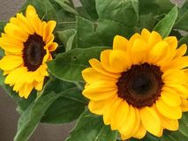 Twee Zonnebloemen Royalty-vrije Stock Afbeelding