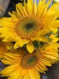 Twee Zonnebloemen Stock Afbeeldingen