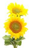 Twee Zonnebloemen Royalty-vrije Stock Afbeeldingen