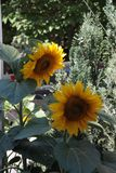 Twee Zonnebloemen in het groene Omringen stock fotografie