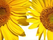 Twee zonnebloemen op wit royalty-vrije stock foto's