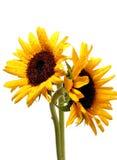 Twee zonnebloemen op wit stock afbeeldingen