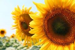 Twee zonnebloemen sluiten Royalty-vrije Stock Afbeeldingen