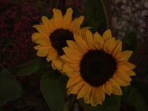 Twee zonnebloemen sluiten omhoog stock fotografie
