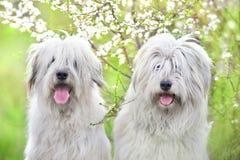 Twee Zuiden Russische herdershond royalty-vrije stock foto
