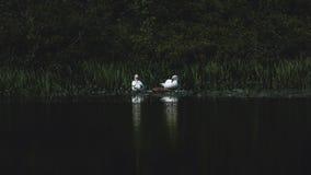 Twee zwanen bij het meer stock foto's