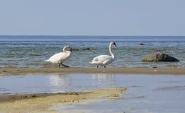 Twee zwanen die bij kust lopen Stock Afbeelding