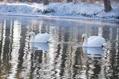 Twee zwanen die in de rivier zwemmen royalty-vrije stock afbeelding
