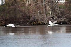 Twee zwanen die over een meer vliegen Stock Fotografie