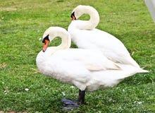 Twee zwanen die zich op het gras bevinden Stock Foto's
