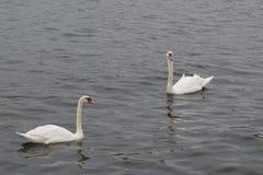 Twee zwanen in een baai van New York Royalty-vrije Stock Afbeeldingen