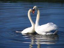 twee zwanen in liefde Royalty-vrije Stock Fotografie