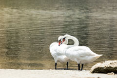 Twee zwanen in liefde in het natuurlijke milieu Stock Foto