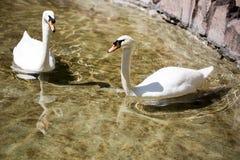 Twee zwanen in liefde zwemmen in het meer Stock Afbeeldingen