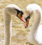 Twee zwanen in liefde zwemmen in het meer Royalty-vrije Stock Foto's