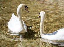 Twee zwanen in liefde zwemmen in het meer Stock Afbeelding