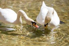 Twee zwanen in liefde zwemmen in het meer Royalty-vrije Stock Afbeelding