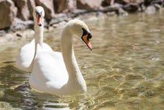 Twee zwanen in liefde zwemmen in het meer Royalty-vrije Stock Afbeeldingen