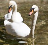 Twee zwanen in liefde zwemmen in het meer Royalty-vrije Stock Foto