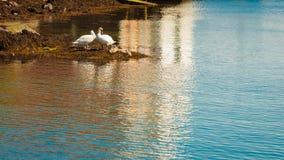 Twee zwanen met kleine nestvogels door rivier stock foto's
