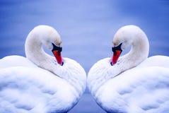 Twee zwanen op blauw Royalty-vrije Stock Foto's