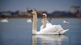 Twee zwanen in zwaanmeer Twee zwanen op een achtergrond van water Royalty-vrije Stock Foto