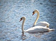 Twee zwanen zwemmen zij aan zij langs duidelijk blauw water Royalty-vrije Stock Fotografie