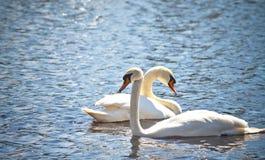 Twee zwanen zwemmen zij aan zij langs duidelijk blauw water in een vijver Royalty-vrije Stock Foto