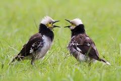 Twee zwart-Collared Starling Singing royalty-vrije stock foto's
